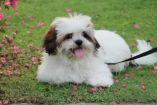Foto de un perro de raza Lhasa Apso, igual que Nina