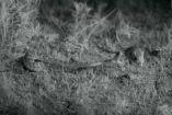 Rata canguro evita el ataque de una serpiente de cascabel