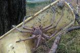 La araña cangrejo puede medir hasta 30 centímetros