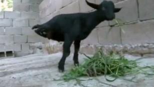 'Cabra fuerte', el apodo del animal que vive en China