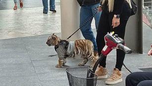 Tigre en Plaza Antara