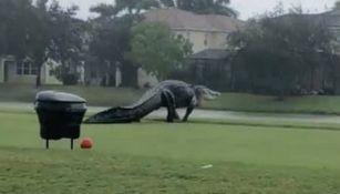 Cocodrilo paseando por un campo de golf