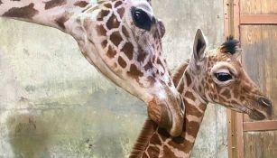Ja Raffe en el zoológico de Memphis