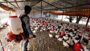 Rusia detectó cepa H5N8 de gripe aviar