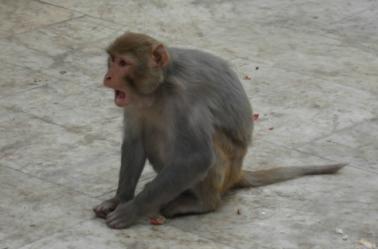 Un macaco durante una festividad en la India