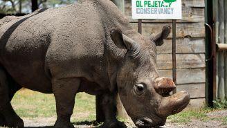 Sudan, el último rinoceronte blanco