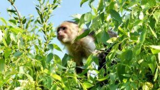 Mono capuchino, en un árbol de la CDMX