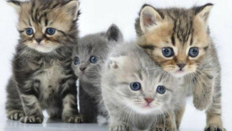 El encantador de gatos es originario de Malasia
