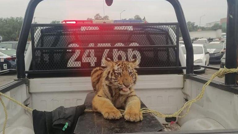 Tigre de bengala fue capturado en Cuautitlán Izcalli